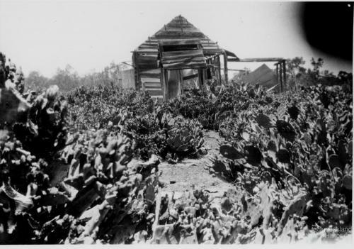 Prickly pear infestation, Chinchilla, 1920s