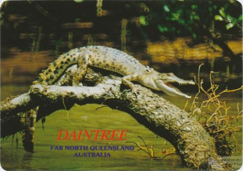 Crocodile sunbaking on the Daintree River