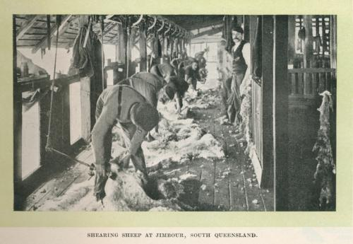 Shearing sheep at Jimbour Homestead, 1912