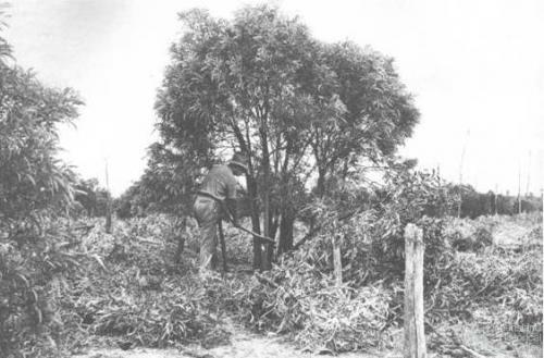 Brigalow suckers axed at Hannasford, 1939