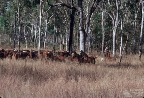 Cattle droving between Laura and 'The Twelve Mile' waterhole, 1982
