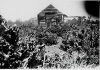 Prickly pear infestation, Chinchilla, 1920s