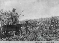South Sea Islanders, loading sugar cane, c1890