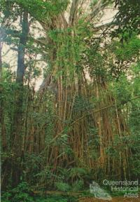 Cathedral Fig Tree, Lake Barrine