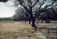 Jacaranda trees in flower, New Farm Park, 1958
