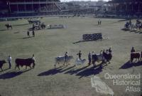 Cattle parade, Royal Brisbane Exhibition, Brisbane Exhibition Grounds, Bowen Hills, 1959