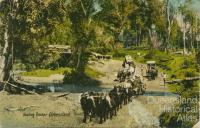 Hauling timber, Queensland, c1910