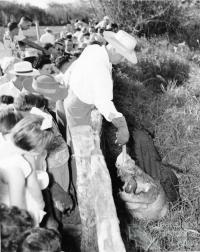 Crocodile feeding at Mount St John Zoo, 1957
