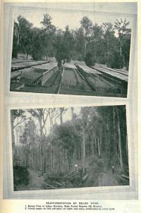 Reafforestation by relief work, Queensland, 1931