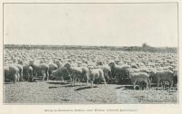 Sheep on Oondooroo Station, near Winton, 1915