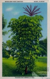 Queensland umbrella tree, Miami, 1913