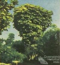 The umbrella tree, 1959