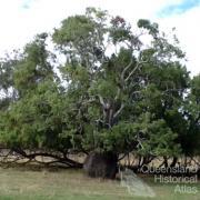 Bottle tree, Boobajyn