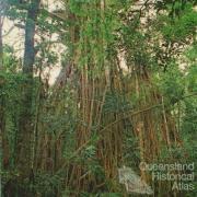Cathedral Fig Tree, Lake Barrine