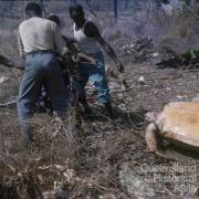 Cooking turtle, Torres Strait, 1958