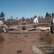 Drought feeding bottle trees to cattle, Monogorilby, c1955