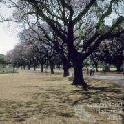 Jacaranda trees in flower, New Farm Park, 1958