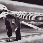 Kronosaurus queenslandicus at Harvard, 1959