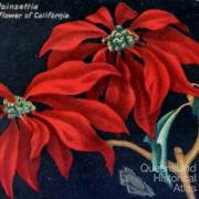 Poinsettia: a beautiful flower of California