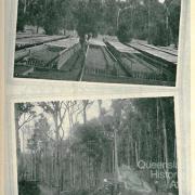 Reafforestation by relief work, Queensland, 1931