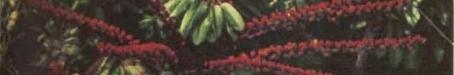 Close-up foliage, the umbrella tree, 1959